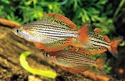 Радужная рыбка (Melanotaenia maccullochi)