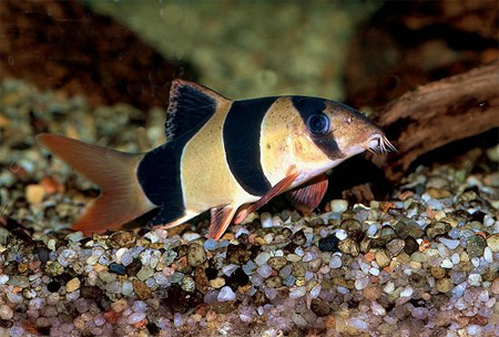 """Аквариумные рыбки фото, описание, содержание, разведения. Семейство аквариумных рыбок """"Вьюновые (Cobitidae)"""" 24"""
