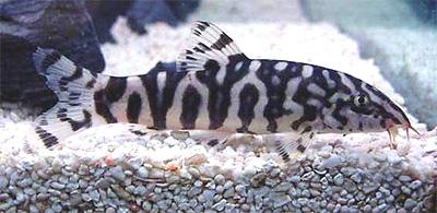 """Аквариумные рыбки фото, описание, содержание, разведения. Семейство аквариумных рыбок """"Вьюновые (Cobitidae)"""" 25-1"""