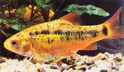 """Аквариумные рыбки фото, описание, содержание, разведения.Семейство аквариумных рыбок """"Карповые (Cyprinidae)""""  30-1"""