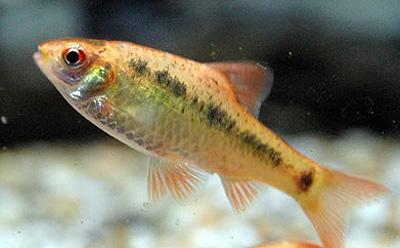 Барбус Шуберта (Barbus semifasciolatus schuberti, Puntius semifasciolatus schuberti)