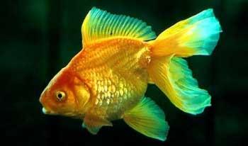 """Аквариумные рыбки фото, описание, содержание, разведения.Семейство аквариумных рыбок """"Карповые (Cyprinidae)""""  4"""