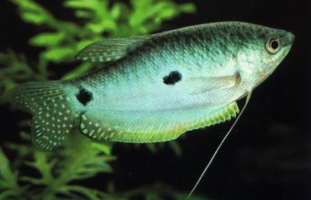 Голубой гурами, суматранский гурами (Trichogaster trichopterus sumatranus)