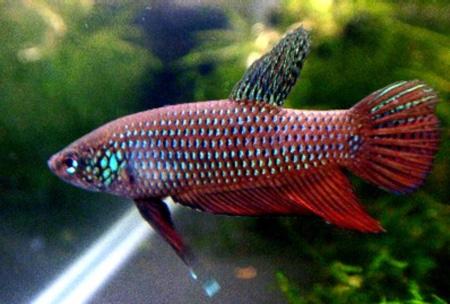 Бетта смарагдовая или зеленый петушок миролюбивая рыбка,лишь во время...