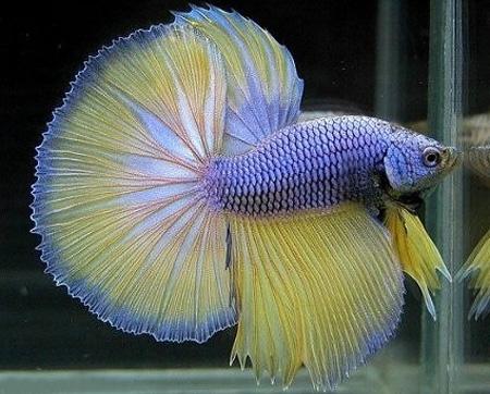 сиамская бойцовая рыбка, фото из интернета.