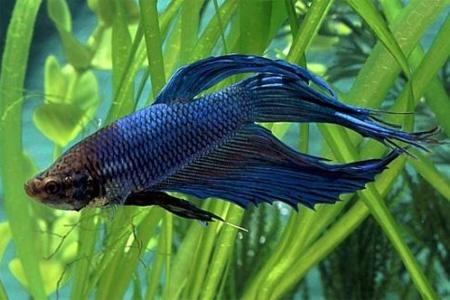 Петушок, или рыбка бойцовая обыкновенная приходит в возбужденное состояние, как правило, при