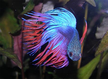 Самая непритязательная в обращении рыбка - Betta Splendens - рыбка петушок или бойцовая рыбка