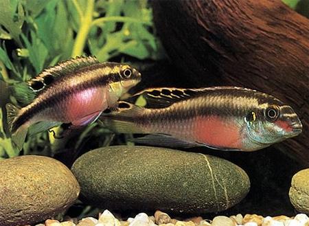 В Европу эта рыбка впервые была завезена в 1951 году.  Существует.
