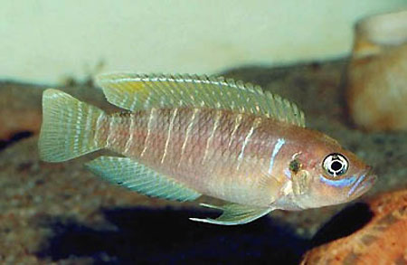 ����������� ��������� ���������� (Neolamprologus brevis)