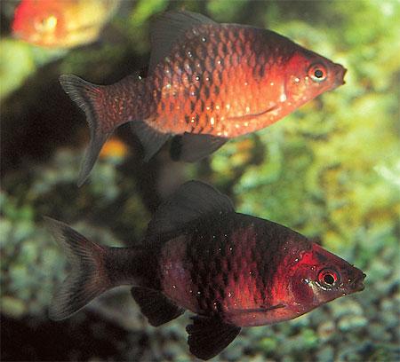 """Аквариумные рыбки фото, описание, содержание, разведения.Семейство аквариумных рыбок """"Карповые (Cyprinidae)""""  95"""