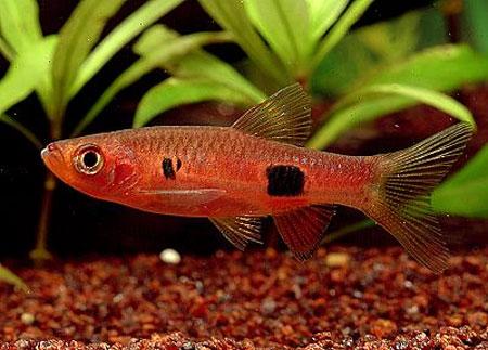 """Аквариумные рыбки фото, описание, содержание, разведения.Семейство аквариумных рыбок """"Карповые (Cyprinidae)""""  97"""