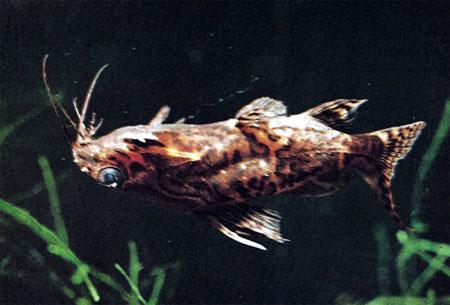 """Аквариумные рыбки фото и описание. Семейство аквариумных рыбок """"Бахромчатоусые или перистоусые сомы (Mochokidae)"""" 98-1"""