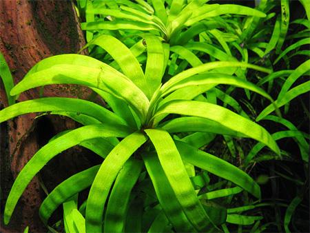 Эйхорния разнолистная (Eichornia diversifolia).  Аквариумные растения. Описание растений