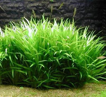 Аквариумные растения: фото с названиями и описанием. Какие растения лучше для аквариума? Растения для аквариума живые и искусственные. - Страница 3 101-1
