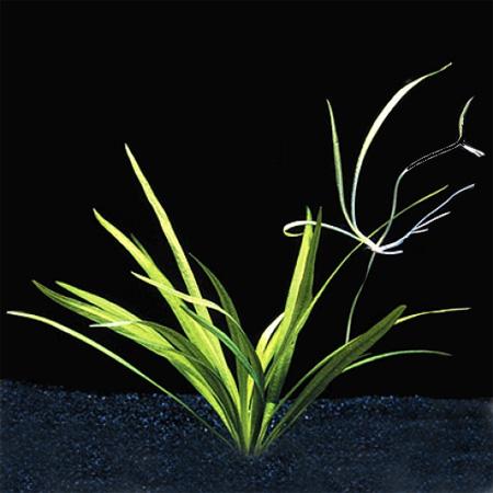 Аквариумные растения: фото с названиями и описанием. Какие растения лучше для аквариума? Растения для аквариума живые и искусственные. - Страница 3 101