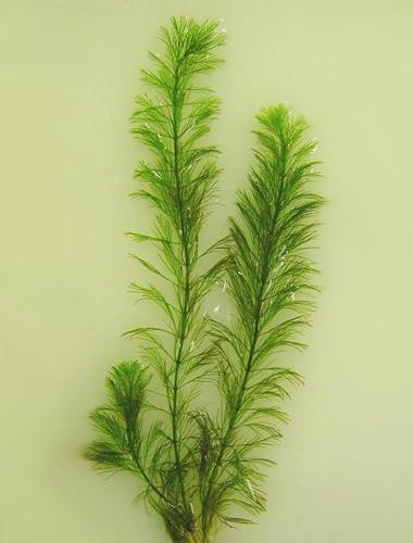 Перистолистник повойничковый или уруть елочная (Myriophyllum elatinoides).  Аквариумные растения. Описание растений для аквариумов