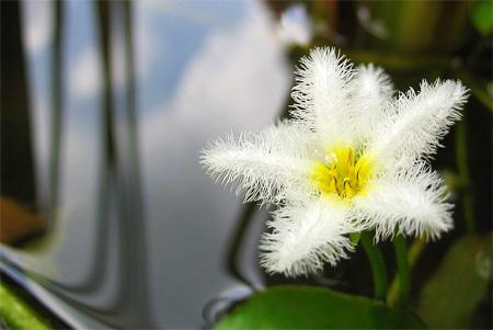 Болотноцветник Гумбольдта (Nymphoides humboldtiana, villacrisia humboldtiana).  Аквариумные растения. Описание растений для аквариумов