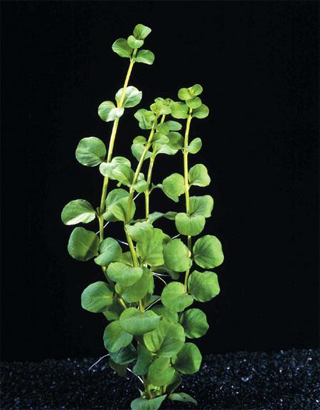 Аквариумные растения: фото с названиями и описанием. Какие растения лучше для аквариума? Растения для аквариума живые и искусственные. - Страница 3 112