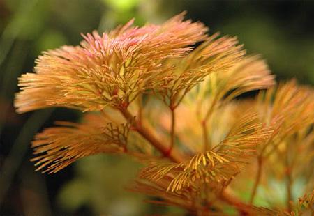 Кабомба красноватая, Кабомба фурката (Cabomba piauhyensis, Cabomba furcata)