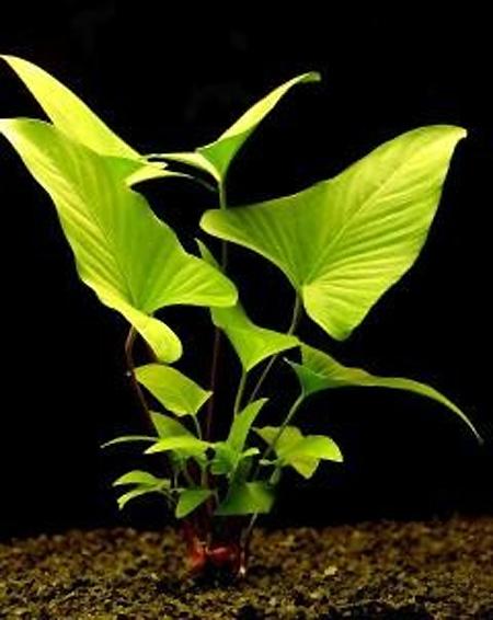 Картинки по запросу anubias gracilis
