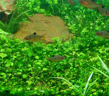 Аквариумные растения: фото с названиями и описанием. Какие растения лучше для аквариума? Растения для аквариума живые и искусственные. - Страница 3 117