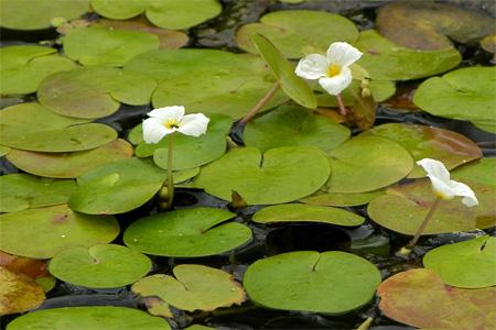 Водокрас лягушачий (Hydrocharis morsus-ranae).  Аквариумные растения. Описание растений для аквариумов