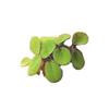 Сальвиния ушастая (Salvinia auriculata).  Аквариумные растения. Описание растений для аквариумов