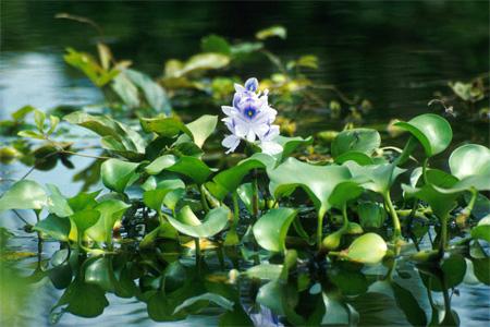 Эйхорния отличная или красивейшая, водяной гиацинт (Eichhornia crassipes)