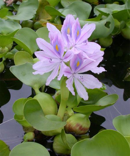 Эйхорния отличная или красивейшая, водяной гиацинт (Eichhornia crassipes).  Аквариумные растения. Описание растений для аквариумов