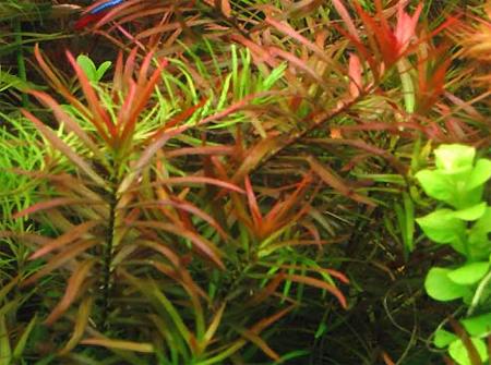 Аквариумные растения: фото с названиями и описанием. Какие растения лучше для аквариума? Растения для аквариума живые и искусственные. - Страница 3 121