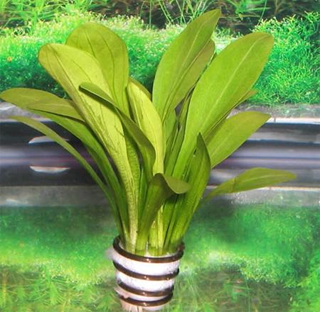 Аквариумные растения: фото с названиями и описанием. Какие растения лучше для аквариума? Растения для аквариума живые и искусственные. - Страница 3 127