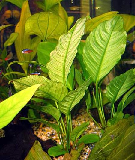 Анубиас разнолистный, анубиас конголезский (Anubias heterophylla, anubias congensis).  Аквариумные растения. Описание растений