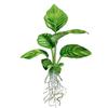 Анубиас разнолистный, анубиас конголезский (Anubias heterophylla, anubias congensis).  Аквариумные растения. Описание растений для аквариумов