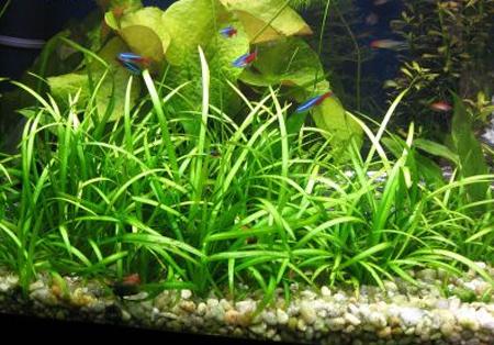 Аквариумные растения: фото с названиями и описанием. Какие растения лучше для аквариума? Растения для аквариума живые и искусственные. - Страница 3 130