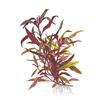 Альтернантера лиловая, или Альтернатера Лилацина, или Очереднопыльник большой (Alternanthera lilacina).  Аквариумные растения. Описание растений для аквариумов