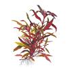 Альтернантера Рейнека (Alternanthera reineckii, alternanthera rosaefolia).  Аквариумные растения. Описание растений для аквариумов