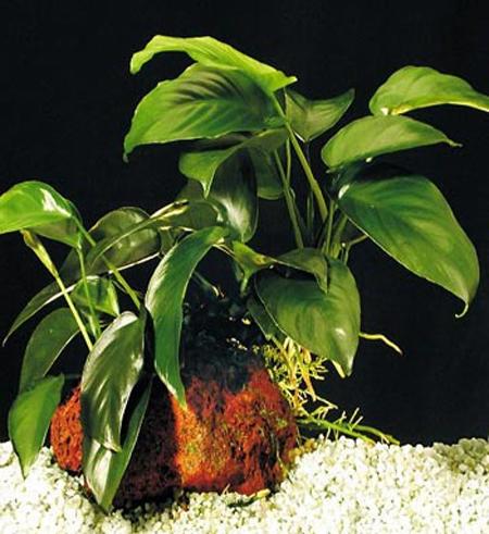 """Анубиас Бартера """"кофейнолистный"""" (Anubias barteri var. """"Coffeefolia"""").  Аквариумные растения. Описание растений"""