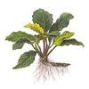 """Анубиас Бартера """"кофейнолистный"""" (Anubias barteri var. """"Coffeefolia"""").  Аквариумные растения. Описание растений для аквариумов"""