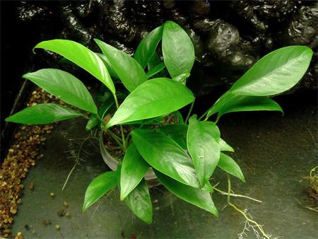 """Анубиас Бартера """"Глабра"""" (Anubias barteri var. glabra).  Аквариумные растения. Описание растений"""
