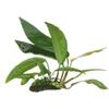 """Анубиас Бартера """"Глабра"""" (Anubias barteri var. glabra).  Аквариумные растения. Описание растений для аквариумов"""