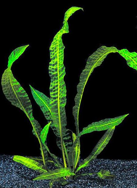 Апоногетон Боивина (Aponogeton boivinianus).  Аквариумные растения. Описание растений
