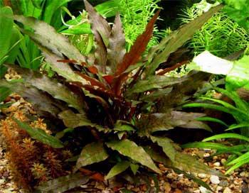 Аквариумные растения описание