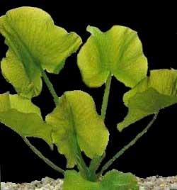 Кубышка стрелолистная (Nuphar sagittifolium)