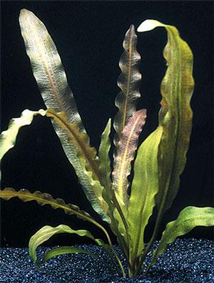 Апоногетон жестколистный (Aponogeton rigidifolius)