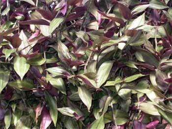Традесканция приречная (Tradescantia fluminensis Veil)