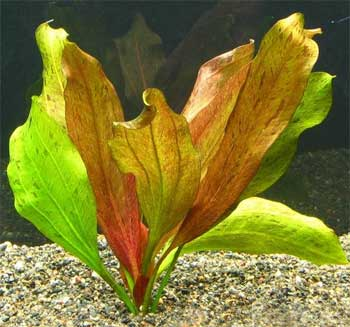 Эхинодорус Горемана (Echinodorus horemanii)