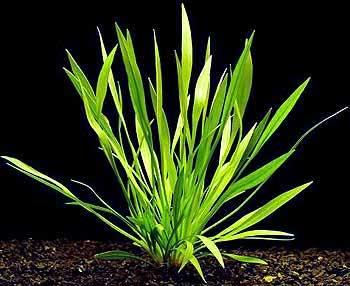Аквариумные растения: фото с названиями и описанием. Какие растения лучше для аквариума? Растения для аквариума живые и искусственные. - Страница 3 43