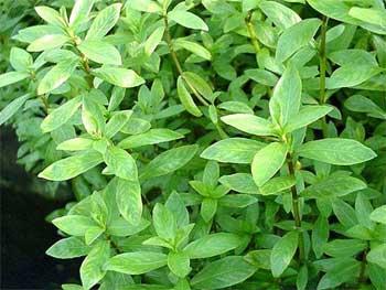 Гигрофила многосеменная или индийская или Болотник (Hygrophila polysperma)