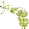 Кабомба каролинская (Cabomba caroliniana)