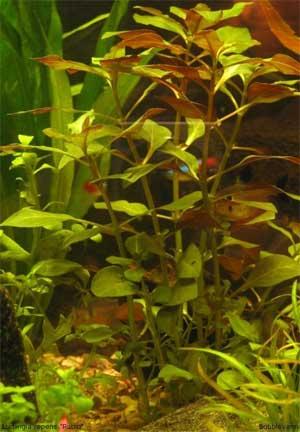 Людвигия ползучая (Ludwigia repens или Ludwigia natans).  Аквариумные растения. Описание растений для аквариумов